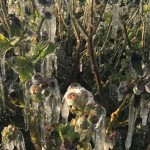 Freeze protected blueberry bushes in Florida