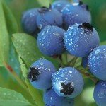 blueberry_dew-Hansen-800